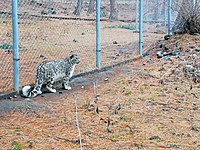 A female snow leopard which was rescued in 2012 from a partly frozen river stream in the Wadkhun area of Sost in the Karakoram mountain range. It is now in a wildlife facility at Naltar.