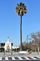 Oldest palm tree in Los Angeles, 2019