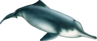 Illustration of a Baiji, declared functionally extinct by the Baiji.org Foundation in 2006.
