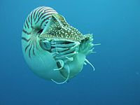 With only a handful of species surviving today, the Nautiloids flourished during the early Paleozoic era, from the Late Cambrian, where they constituted the main predatory animals.