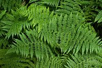 Ferns first appear in the fossil record about 360 million years ago in the late Devonian period.