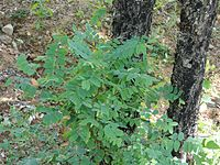 Chloroxylon is used for pest management in organic rice cultivation in Chhattisgarh