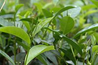 Sri Lanka's most widely known export, Ceylon tea, which ISO considers the cleanest tea in the world in terms of pesticide residues. Sri Lanka is also the world's 2nd largest exporter of tea.