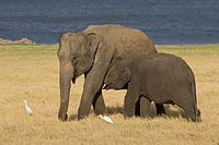 The Sri Lankan elephant is one of three recognised subspecies of the Asian elephant. The 2011 elephant census estimated a population of 5,879.