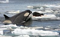 Orca (Orcinus orca) hunting a Weddell seal in the Southern Ocean