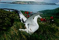 A wandering albatross (Diomedea exulans) on South Georgia