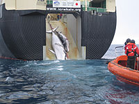 An adult and sub-adult Minke whale are dragged aboard the Nisshin Maru, a Japanese whaling vessel