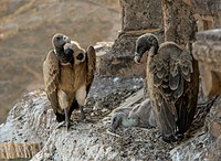 Vultures in the nest, Orchha