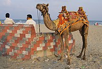 A camel on the beach in Puducherry, India