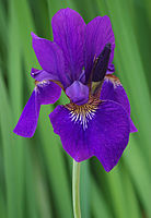 State cultivated flower: iris