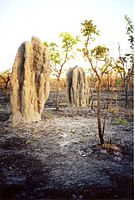 These termite mounds have survived a bush fire.