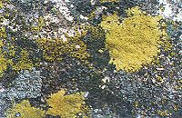 Lichens growing on concrete