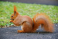 A red squirrel in one of Warsaw's parks