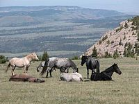 Feral horses in the Pryor Mountains of Southeast Montana