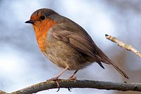 """The robin is popularly known as """"Britain's favourite bird""""."""