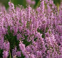 Heather growing wild in the Highlands at Dornoch.
