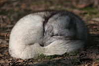 The Arctic fox is the only indigenous land mammal in Iceland and was the only land mammal prior to the arrival of humans