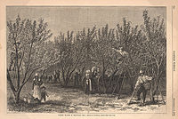 Picking Peaches in Delaware, from an 1878 issue of Harper's Weekly