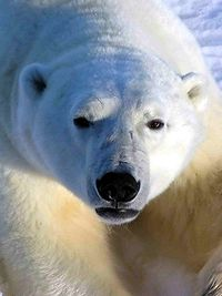 Polar bears are common in northern Manitoba.