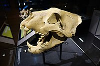 Skull of a Barbary lion that was kept at Tower of London, Natural History Museum
