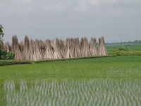 Freshly sown saplings of rice in a paddy; in the background are stacks of jute sticks.