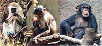Left to right: the African green monkey source of SIV, the sooty mangabey source of HIV-2, and the chimpanzee source of HIV-1