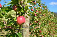 """An apple orchard in the """"Apple Isle""""."""