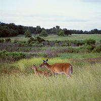 White-tailed deer, also known as Virginia deer, graze at Big Meadows in Shenandoah National Park