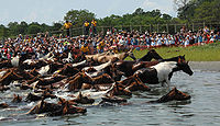 The annual Chincoteague Pony Swim features over 200 wild ponies swimming across the Assateague Channel into Chincoteague.