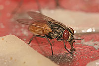 Musca (fly)