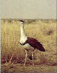 The great Indian bustard has been classed as critically endangered since 2011.