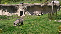 Warthogs at Toronto Zoo, situated in the Rouge River Valley