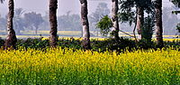 A mustard and date palm farm in West Bengal