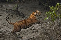 A 2015 census of Sundarbans Bengal tigers found 106 in Bangladesh and 76 in West Bengal.