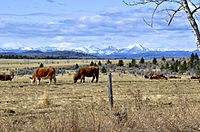 Cows in Rocky View. Nearly one-half of Canadian beef is produced in Alberta.