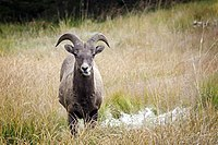 A bighorner in Kananaskis Country. The bighorn sheep is the provincial mammal of Alberta.