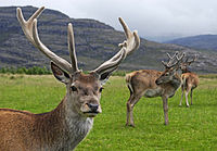 Red deer stag with velvet antlers in Glen Torridon