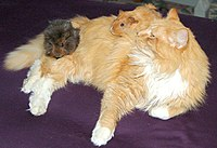 Although this cat has accepted these guinea pigs, the success of interspecies interaction depends on the individual animals.