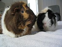 Parti-colored Abyssinian guinea pigs