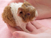 Guinea pig pup at eight hours old
