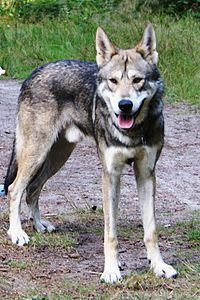 Films featuring Alaskan wolves usually employ domesticated wolf-dog hybrids to stand in for wild wolves.