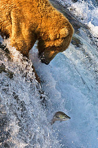 Grizzly bear fishing for salmon at Brooks Falls, part of Katmai National Park and Preserve