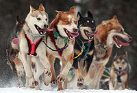 A dog team in the Iditarod Trail Sled Dog Race, arguably the most popular winter event in Alaska