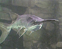 The American paddlefish is an ancient relict from the Mississippi