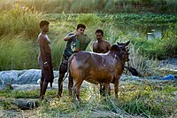 The owner is cleaning his cow before taking it to the cattle market for Eid-Ul-Adha. Boshila, Dhaka, Bangladesh.