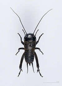 Cricket (insect)