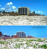 Dune vegetation after Hurricane Irma, September 12, and September 21, 2017, showing recovery of plants near 14th Street and Ocean Drive, Miami Beach