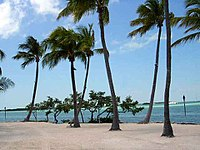Coconut palms like these in Islamorada flourish in the Florida Keys.