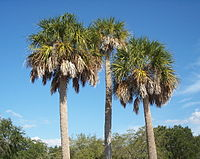 The state tree, Sabal palmetto, flourishes in Florida's overall warm climate.