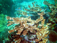 Elkhorn coral near Key Largo